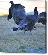 Wild Turkeys. Canvas Print