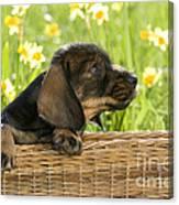 Wire-haired Dachshund Puppy Canvas Print