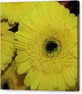 Yellow Gerbers Canvas Print