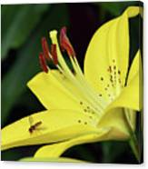 Yellow Lilys Canvas Print