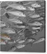 Yellowfin Goatfish Canvas Print