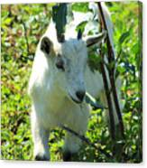 Young Goat On A Farm Canvas Print