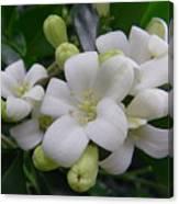 Australia - Gardenia White Flowers Canvas Print