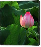 Blossoming Lotus Flower Closeup Canvas Print