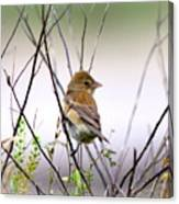 3571 - Tanager Canvas Print