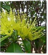 Australia - Pollinating A Green Leionema Flower Canvas Print