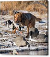 Duck And Goose Hunting Stock Photo Image Canvas Print