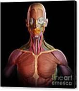 Facial Muscles Canvas Print