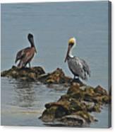 37-  Pelicans Canvas Print