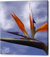 Australia - Bird Of Paradise On Blue Canvas Print