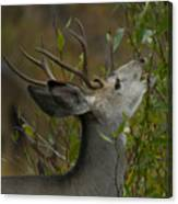 3x3 Buck Mule Deer-signed-#9716 Canvas Print
