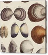 Aquatic Animals - Seafood - Shells - Mussels Canvas Print
