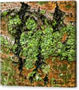 Aspen Bark After The Rain Canvas Print