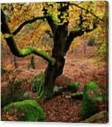 Beech Tree Canvas Print