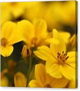 Bidens Named Peter's Gold Carpet Canvas Print