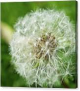 Dandelion Close-up. Canvas Print