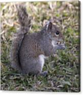 Eastern Gray Squirrel Canvas Print