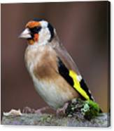 European Goldfinch Bird Close Up   Canvas Print