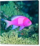 Fiji, Reef Scene Canvas Print