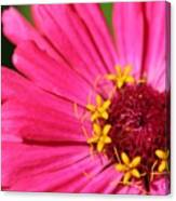 Fuchsia Pink Zinnia From The Whirlygig Mix Canvas Print