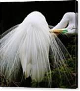 Great White Egret Preening Canvas Print