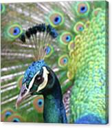 Indian Blue Peacock Canvas Print
