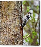 Lesser Spotted Woodpecker Canvas Print