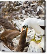 Nazca Booby In Galapagos Canvas Print