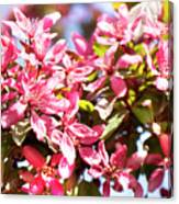 Pink Cherry Flowers Canvas Print