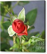 Red Rose Blooming Canvas Print
