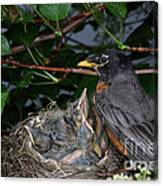 Robin Feeding Its Young Canvas Print