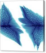 Sturgeon Scales, X-ray Canvas Print