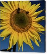 Sunflower Fields Canvas Print