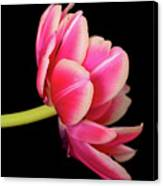 Tulip  Macro Canvas Print