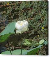 White Lotus Flower Flower Lotus Nature Summer Green Plant Blossom Asian Canvas Print
