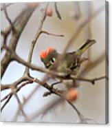 4369 - Ruby-crowned Kinglet Canvas Print