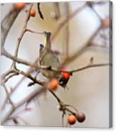 4370 - Ruby-crowned Kinglet Canvas Print