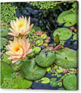 4445- Lily Pads Canvas Print