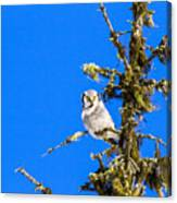 Hawk Owl Canvas Print