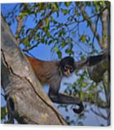 48- Capuchin Monkey Canvas Print