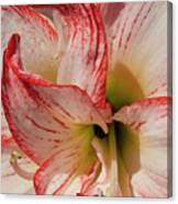 Amaryllidaceae Hippeastrum Amorice Canvas Print