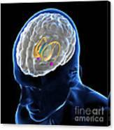 Anatomy Of The Brain Canvas Print