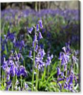 Bluebells Near Effingham In The Surrey Hills England Uk Canvas Print