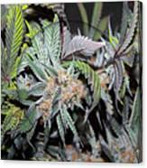 Cannabis 420 Collection Canvas Print