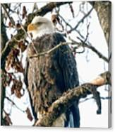 Eagle In A Tree Canvas Print