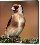 European Goldfinch Bird Close Up   Canvas Print