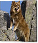 Finnish Lapphund Canvas Print