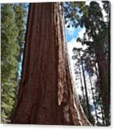Giant Sequoia Trees Canvas Print