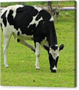Holstein Cow On A Farm Canvas Print
