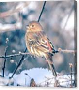 House Finch Tiny Bird Perched On A Tree Canvas Print